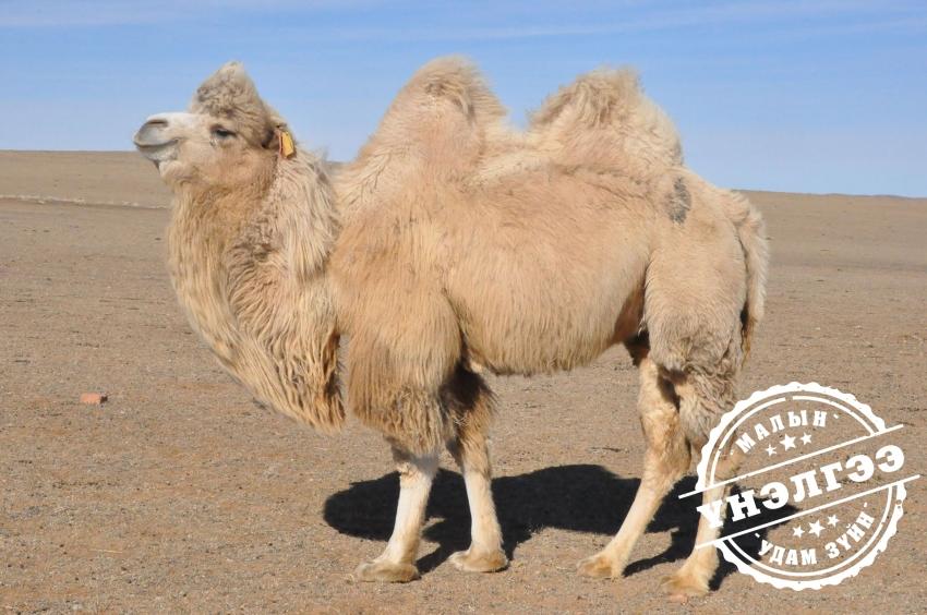 Монгол тэмээ