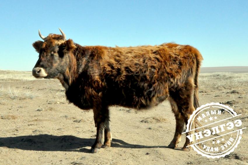 Монгол үхэр