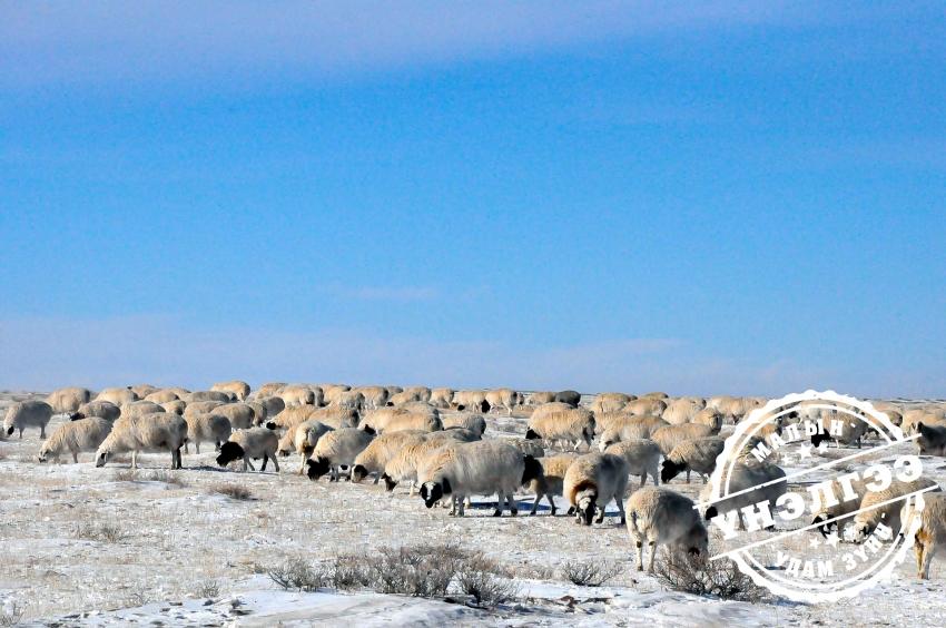 Монгол хонь