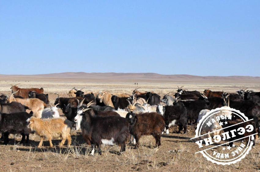 Монгол ямаа
